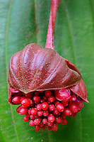 Medinilla miniata<br /> Hawaii Tropical Botanical Garden, Onomea<br /> Hamakua Coast, South Hilo<br /> Island of Hawaii, Hawaii