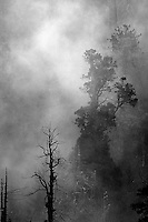 Fog envelopes a thick Oregon pine tree forest.