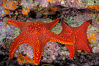 Panamic cushion stars, Pentaceraster cumingi, Galapagos Islands, Ecuador (Eastern Pacific Ocean)