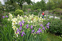 Fenway gardens, rain, Boston, MA bearded iris