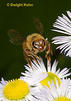 1B05-508z  Honeybee worker flying to flower, Apis mellifera