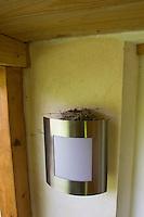 Grauschnäpper, Grau-Schnäpper, Nest mit Eiern auf einer Außenlampe an Hausfassade, ungewöhnlicher Nistplatz, Muscicapa striata, Spotted Flycatcher, Gobemouche gris
