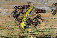 Waldameise, Rote Waldameise, mit Heuschrecke, Beute, Nahrung, Formica rufa, wood ant, Wood Ants