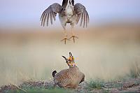 Adult male Lesser Prairie-chickens (Tympanachus pallidicinctus) fighting on a lek. Cimarron National Grassland, Kansas. April.