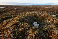 Tundra Swan nest and eggs. Yukon Delta National Wildlife Refuge, Alaska. June.