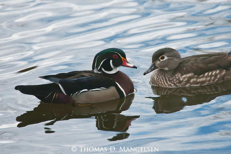 Adorned in breeding plumage of iridescent blue, green and chestnut brown, a male wood duck paddles across a backwater pond to greet his mate near the Platte River in Nebraska.