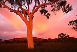 Ghost gum tree, Uluru-Kata Tjuta National Park, Australia