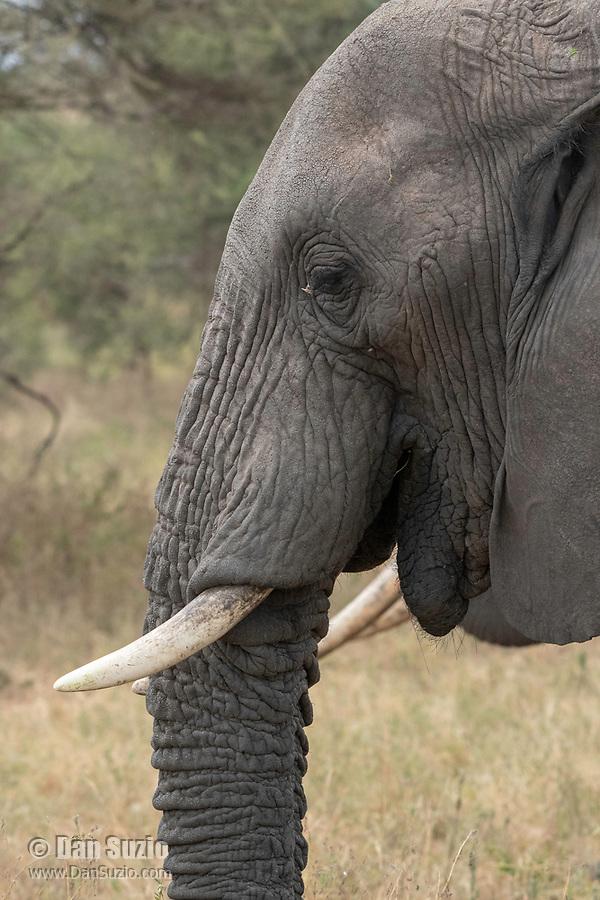 African Elephant, Loxodonta africana, in Tarangire National Park, Tanzania