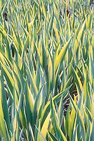 Iris pallida 'Zebra' = Iris pallida 'Argentea Variegata' variegated leaves = Iris pallida 'Variegata' (= 'Aurea' and 'Aurea Variegata')