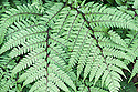 Athyrium niponicum f. metallicuma (syn. Athyrium niponicum 'Metallicum'), mid August. Japanese Painted Fern, a deciduous hardy fern with silver variegation on its grey/green fronds sometimes flushed with purple and red.