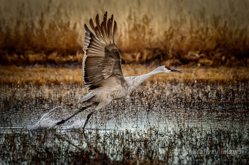 A lone sandhill crane in the process of taking wing at Bosque del Apache National Wildlife Refuge in southern New Mexico.