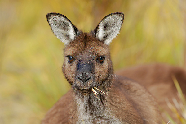 Western Grey Kangaroo (Macropus fuliginosus), adult eating grass, Australia