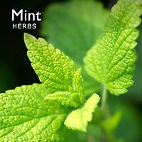 Mint Pictures | Mint Herb Food Photos Images & Fotos