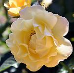 Monet Roses