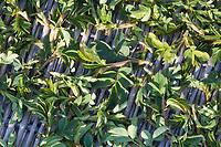 Hunds-Rose, Hundsrose, Heckenrose, Wildrose, junge Blätter, Blatt, Blattaustrieb, werden geerntet und als Heilpflanze getrocknet, Rose, Rosa canina, Common Briar, Dog Rose, Eglantier commun, Rosier des chiens