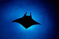 reef manta ray, Mobula alfredi, Little Cayman, Caribbean Sea, Atlantic Ocean
