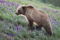 Grizzly Bear (Ursus arctos horribilis), adult in Purple Fringe (Phacelia sericea) flowers, Yellowstone National Park, Wyoming, USA