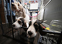 21/12/17<br /> <br /> Three-year-old Zamba, a Basset Griffon Vendéen, with her seven-week-old pups, at the home of breeder, Yvonne Moult (47) in Mansfield, Nottinghamshire.<br /> <br />   <br /> All Rights Reserved F Stop Press Ltd. +44 (0)1335 344240 +44 (0)7765 242650  www.fstoppress.com