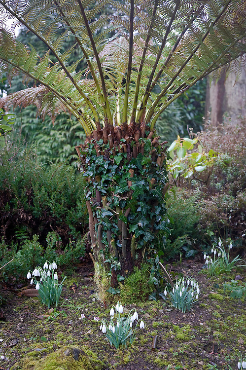 Snowdrops at the foot of a tree fern (Dicksonia antarctica), Heligan, Cornwall, mid February.