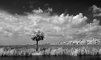 Lone palm tree off Tamiami Highway photographed using infrared Canon 5D Mark II camera in Florida's Everglades National Park and the 10,000 Islands National Wildlife Refuge. Photo/Andrew Shurtleff