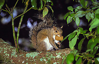 eastern gray squirrel, Sciurus carolinensis, California, USA