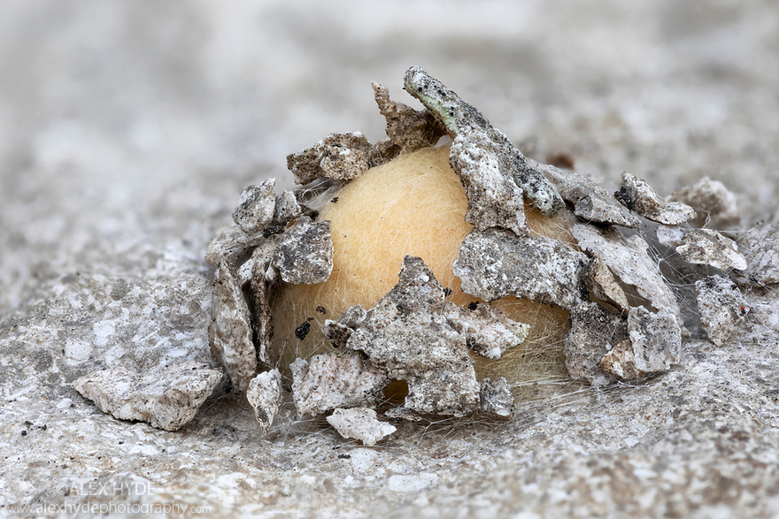 Egg sac of unidentified spider clad in limestone flakes. Derbyshire, UK. October. Focus stacked image.