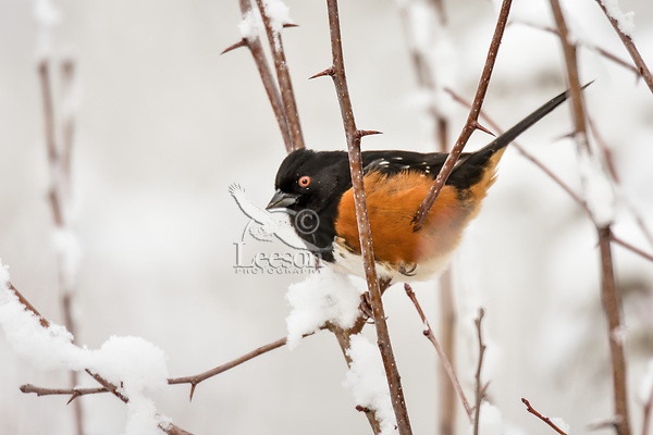 Male Western Spotted Towhee (Pipilo maculatus) on snow covered wild rose branch.  Pacific Northwest, Winter.