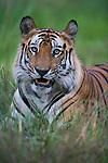 Dominant male Bengal tiger (Panthera tigris) lying in green grass, close-up, dry season, April