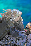 11 August 2009: The Green Iguana (Iguana iguana)  is found throughout the island of Bonaire. Taken along the coral coastline at Captain Don's Habitat on the island of Bonaire, in the Netherlands Antilles. Mandatory Credit: Ed Wolfstein Photo