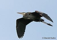 0116-07zz  Great Blue Heron - Ardea herodias © David Kuhn/Dwight Kuhn Photography