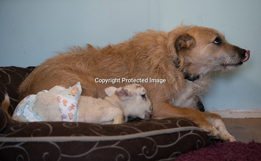 """21/04/15<br /> <br /> One of the lambs tries to suckle Piper.<br /> <br /> Two 'sheep dogs' are helping to pamper three orphaned lambs who think the dogs are their mum.<br /> <br /> The three orphaned  lambs, who wear nappies so they can have the run-of-the-house, like to snuggle up to the dogs and share their bed with them in the kitchen by the stove.<br /> <br /> Piper, an 11-year-old rhodesian ridgeback-cross and Draughtsman, an eight-year-old ex-hunting beagle, take turns looking after the week-old lambs who often try to suckle from their doting canine 'parents'.<br /> <br /> Melissa Ebbatson, 21, said: """"These three were quite poorly, so we brought them inside so we could look after them better and give them a bit more warmth. We put them in nappies so they don't make a mess in the house.  One of the dogs was having a snooze on his bed and the lambs just jumped in and joined him. And they've all become inseparable since then.<br /> <br /> """"The dogs like to clean the lambs' faces after they've had their bottles. And they enjoying romping around the place with them,"""" said Melissa who helps to run Crossgates Farm, with her family near Tideswell in the Derbyshire Peak District.<br /> <br /> """"They seem to really care about them and go straight to them if they start bleating – they even come to find us if they think they're hungry.<br /> <br /> """"We change their nappies at least four-times-a-day - the baby boys even need to wear two!<br /> <br /> """"They are between seven and eight days old, and we hope to get them living back outside again when they are strong enough in another ten days or so – that's as long as the dogs let us!<br /> <br /> """"We're probably all a bit bonkers here but it all seems normal to us"""", she added.<br /> <br /> All Rights Reserved: F Stop Press Ltd. +44(0)1335 418629   www.fstoppress.com."""
