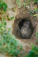 Young Eastern cottontail rabbit hiding in prairie dog hole.  Great Plains.  Summer.