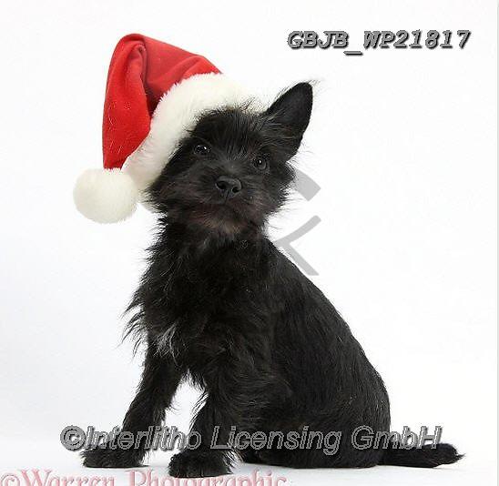 Kim, CHRISTMAS ANIMALS, WEIHNACHTEN TIERE, NAVIDAD ANIMALES, fondless, photos+++++,GBJBWP21817,#xa#