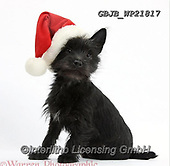 Kim, CHRISTMAS ANIMALS, WEIHNACHTEN TIERE, NAVIDAD ANIMALES, fondless, photos+++++,GBJBWP21817,#xa#