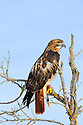 00432-029.05 Falconry:  Red-tailed hawk wearing typical falconry gear is perched in tree watching for prey.