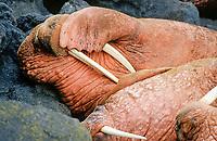 Pacific walrus, Odobenus rosmarus divergens, sleeping, Bering Sea, Alaska, USA, Pacific Ocean