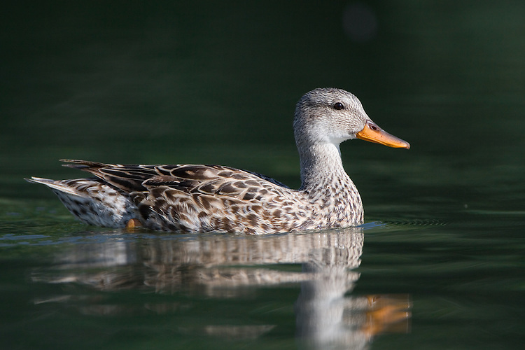 Female Gadwall swimming on a pond on a sunny morning