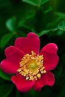 Red wild rose, Rosa woodsii Lindl, with central yellow stamen