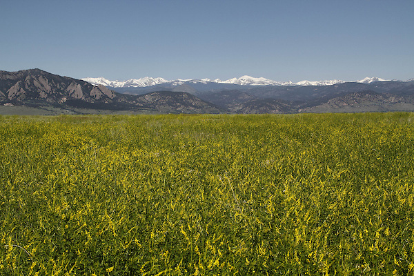 Golden clover and the Flatirons rock formation (left) with the Indian Peaks Wilderness Area behind, from east of Boulder, Colorado, USA