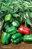 HS41-053x  Pepper - sweet bell pepper, Northstar variety
