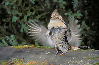 Ruffed Grouse drumming on log..Courtship ritual. Rocky Mountains..Spring. (Bonasa umbellus).
