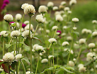 "A flower field blooming with white flower blobs of ""Fulee(Hindi)"" flowers."