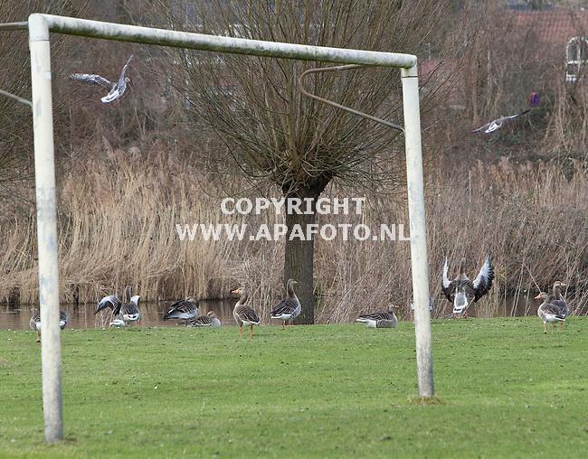 Doesburg, 140311<br /> Ganzen op grasveld van sportpark Doesburg.<br /> Foto: Sjef Prins - APA Foto