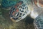 Dumaguete, Dauin, Negros Oriental, Philippines; a green sea turtle feeding on sea grass