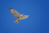 Ferruginous Hawk, Fort Morgan, Colorado
