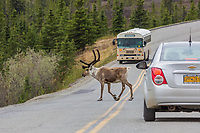 Tourists view caribou on the park road in Denali National Park, Alaska.