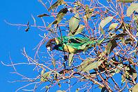 Australian Ringneck, Ti Tree camp, NT Outback, Australia