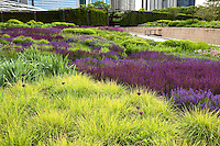 Summer tapestry of bright green foliage of Autumn Moor Grass Sesleria autumnalis with purple river of blue flowers of Meadow Sage (Salvia x sylvestris) and Allium in Lurie Garden Millenium Park, Chicago, plant design by Piet Oudolf
