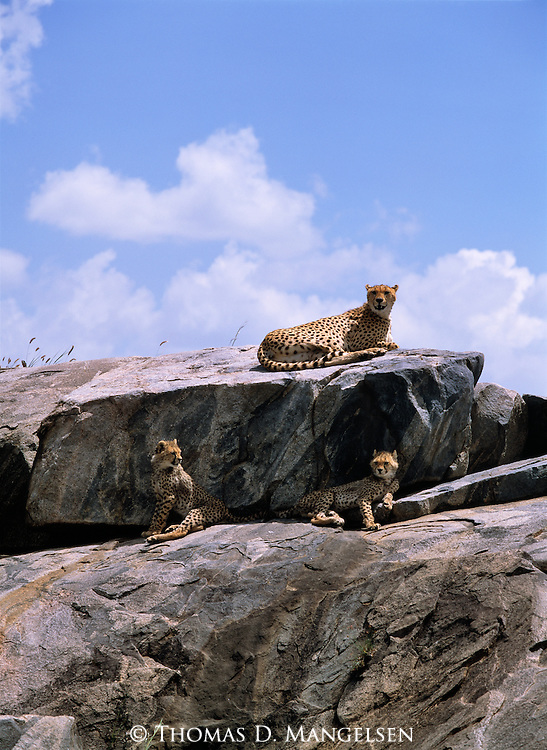 A family of cheetahs rest on a kopje in Africa.
