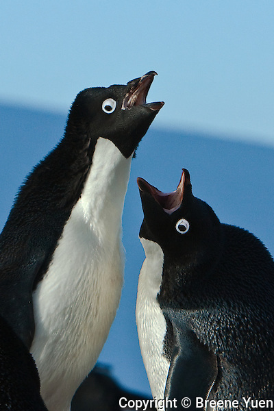 One Adelie penguin returns to its nest, to be loudly greeted by its mate, Petermann Island, Antarctic Peninsula, November 2007